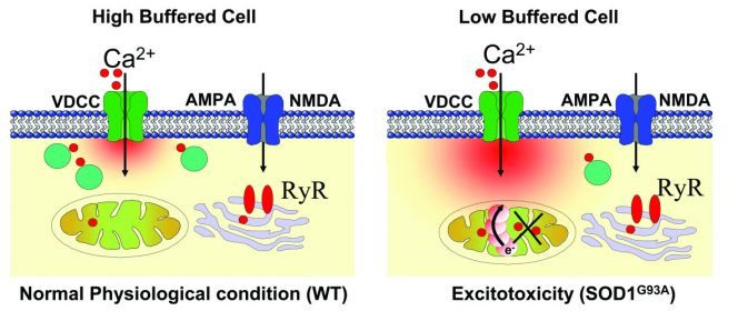 Low_Ca2+_buffering_and_excitotoxicity_under_physiological_stress_and_pathophysiological_conditions_in_motor_neuron_(MNs)