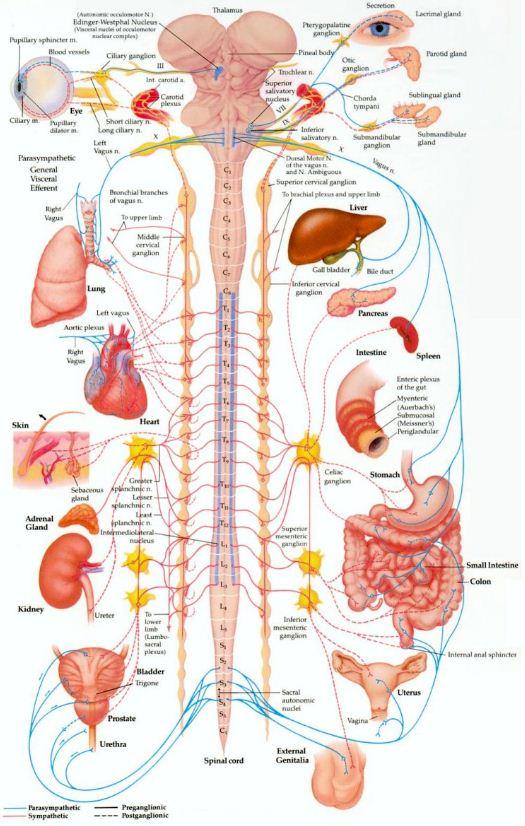 Syst U00e8me Nerveux Autonome   Le Lien Entre La Physiologie Et La Psychologie