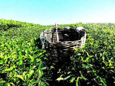 tea-plantation-261518_960_720