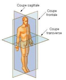 Coupe_anatomie
